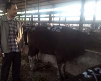 jual sapi di bekasi
