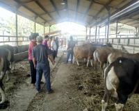 tempat jual sapi kurban murah