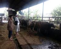 harga sapi kurban di jakarta