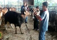 harga sapi qurban 2017 (3)