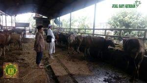harga sapi hidup