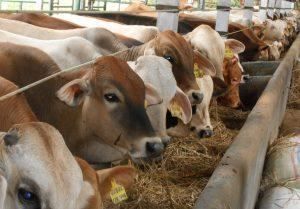 cara berternak sapi potong